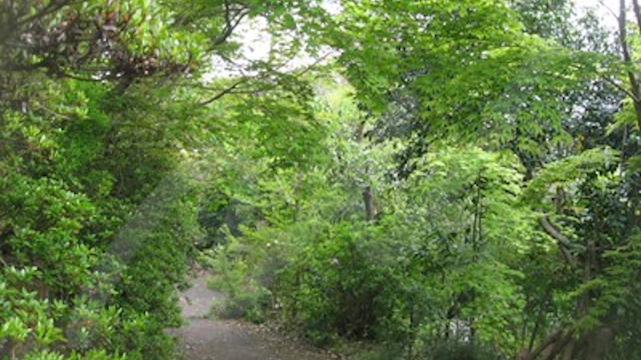 イロハモミジは雑木の庭の主役