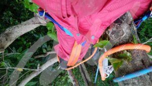 ハーネスを付けて木登りして剪定