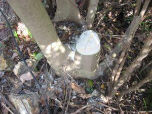 株たちの樹形。茂ったら地際から切れば良い